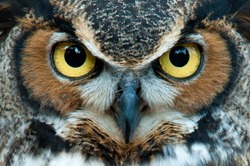 Great Horned Owl staring with golden eyes