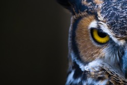 Great Horned Owl watching