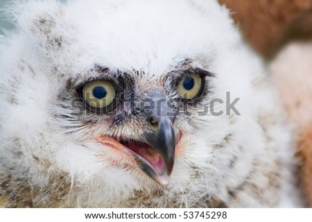 Great Horned Owl young white nestling in close view