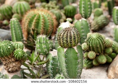 great image of some prickly cacti cactus plants