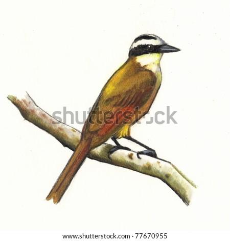 Great Kiskadee (Bird) in Color Pencil