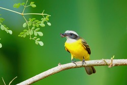 Great Kiskadee, Pitangus sulphuratus, sitting on a brach with an insect in his beak in Tortuguero National Park in Costa Rica