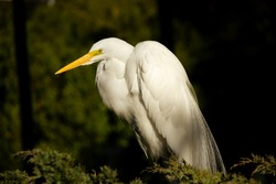Great male white heron, Egretta alba, resting in nest and displaying muptial or courtship plumage.