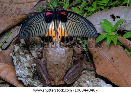 Stock Photo Great Mormon Butterfly On Long-nosed Horned Frog