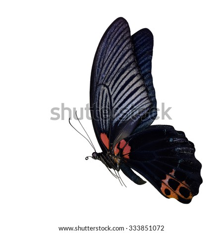 Great Mormon (Papilio memnon) the large dark black butterfly in swallowtail family found in southern Asia, beautiful flying black butterfly with isolated on white background