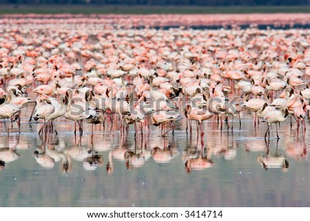 Great number of Flamingos at Nakuru Lake, Kenya.