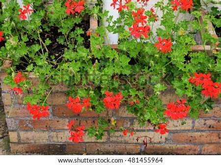 Great ornamental plant, ivy bright red geranium trying to push in that little brick planter #481455964