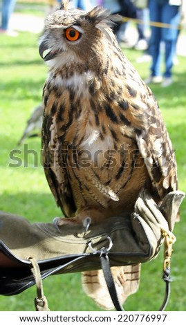 great OWL on protection glove a Falconer during the outdoor event