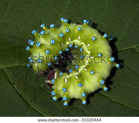 great peacock caterpillar / Saturnia pyri