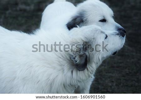 Great Pyrenees Dog Gives His Sweetheart A Kiss Stockfoto ©