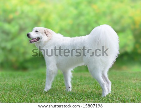 Great Pyrenees young adult dog in profile. The large, white dog is standing on a green lawn with a thick hedge blurred in the background. It is standing, pointed to the left and has a doggie smile