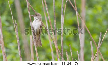 great reed warbler laid on the reeds in the swamp #1113411764