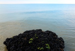 great rock covered by thousands of black mussels on the sea