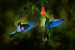 Great sapphirewing, Pterophanes cyanopterus, big blue hummingbird with red flower, Yanacocha, Pichincha in Ecuador. Two bird sucking nectar from bloom. Wildlife scene from jungle forest.