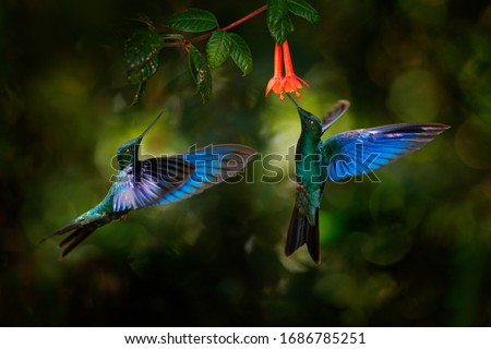 Photo of  Great sapphirewing, Pterophanes cyanopterus, big blue hummingbird with red flower, Yanacocha, Pichincha in Ecuador. Two bird sucking nectar from bloom. Wildlife scene from jungle forest.