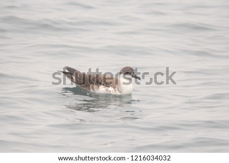 Great Shearwater (ardenna gravis) #1216034032