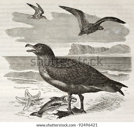 Great Skua old illustration (Stercorarius skua). Created by Kretschmer and Jahrmargt, published on Merveilles de la Nature, Bailliere et fils, Paris, ca. 1878