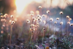 Great small grass flowers on sunlight background, blur grass flowers on road side on sun rise background for using background and wallpaper