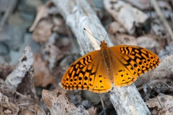 Great Spangled Fritillary on the ground among leaves