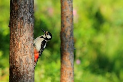 great spotted woodpecker birds of finland wildlife lakes forests of fir and birch summer flowers
