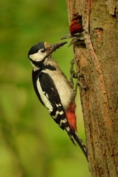 Great Spotted Woodpecker (Dendrocopos major) feeding the little one. Woodpecker at it´s nest in the forest. Forest background