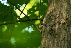 great spotted woodpecker, dendrocopos major, feeds its young. Caring woodpecker take care offspring. Live in the forest.