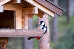 Great spotted woodpecker eats seeds in a wooden bird feeder
