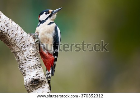 Great spotted Woodpecker perched on a birch branch photographed horizontally