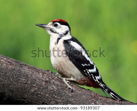 Great spotted woodpecker perched on tree stump