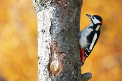 Great spotted woodpecker with yellow background