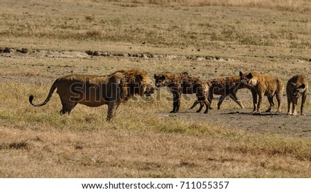 Great Stand-off Lion with Hyenas