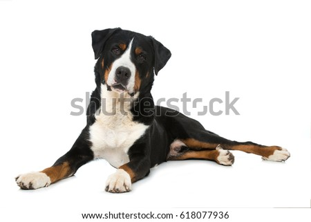Great swiss mountain dog isolated on white