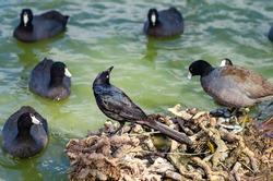 Great-tailed Grackl (male) stands on the shore of Lake Elizabeth and watches black ducks (Fulica atra), Fremont Central Park