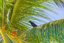 Great-tailed Grackle bird sits on leaves of a palm tree crown Playa del Carmen Mexico.