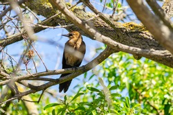Great-tailed Grackle (female) sits on a tree branch