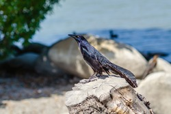 Great-tailed Grackle (male) stands on a rock near the lake