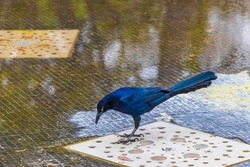 Great-Tailed Grackle Quiscalus mexicanus male bird is drinking water from a fountain in Alameda Central park in Mexico City.