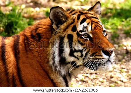 Great tiger in the nature habitat, Bengal Tiger in forest, Beautiful portrait, animal in wild winter nature, white tiger, Wildlife with danger animal, Portrait of beautiful Siberian #1192261306