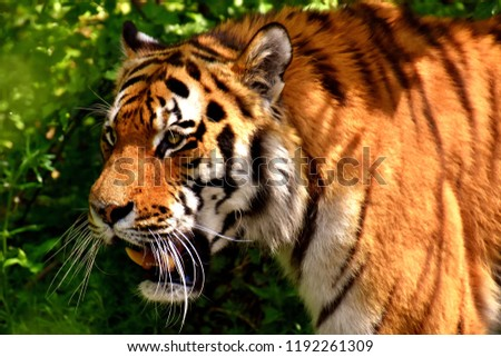 Great tiger in the nature habitat, Bengal Tiger in forest, Beautiful portrait, animal in wild winter nature, white tiger, Wildlife with danger animal, Portrait of beautiful Siberian #1192261309