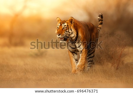Great tiger male in the nature habitat. Tiger walk during the golden light time. Wildlife scene with danger animal. Hot summer in India. Dry area with beautiful indian tiger, Panthera tigris #696476371