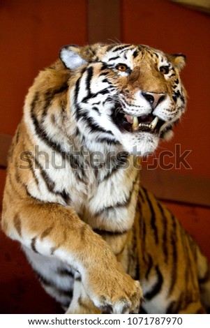 Great tiger picture on the beautiful red background. Amazing wildcat with a strong look in eyes. Bengal tiger pose on beautiful background. Portrait of bengal tiger. Tiger walking.