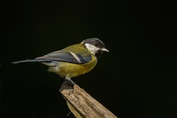 Great tit and a dark background