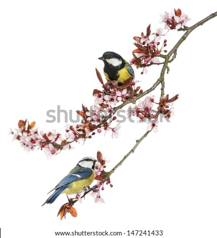 Great Tit and Blue Tit perched on a blossoming branch, isolated on white #147241433