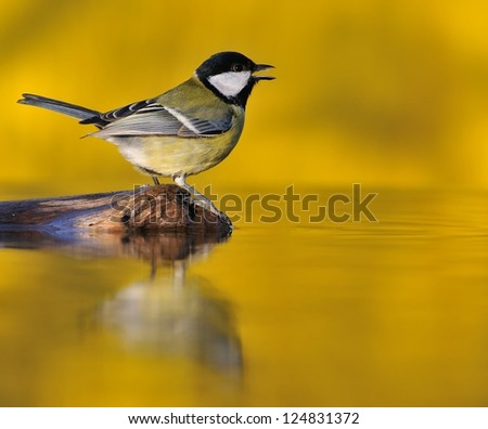 Great tit at sunset on yellow background.