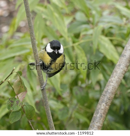 Great tit (chickadee) perched on branch