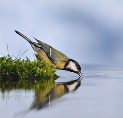 Great tit drinking water from the shore.
