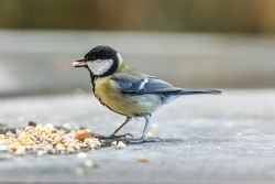 Great tit eating food in the winter.
