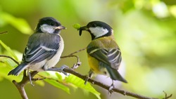 Great Tit feeding younger bird
