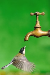 Great tit flying to a tap for drinking water.