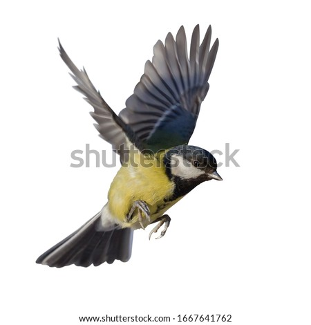 Photo of  great tit in flight isolated on white background